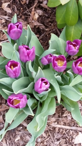first.tulips
