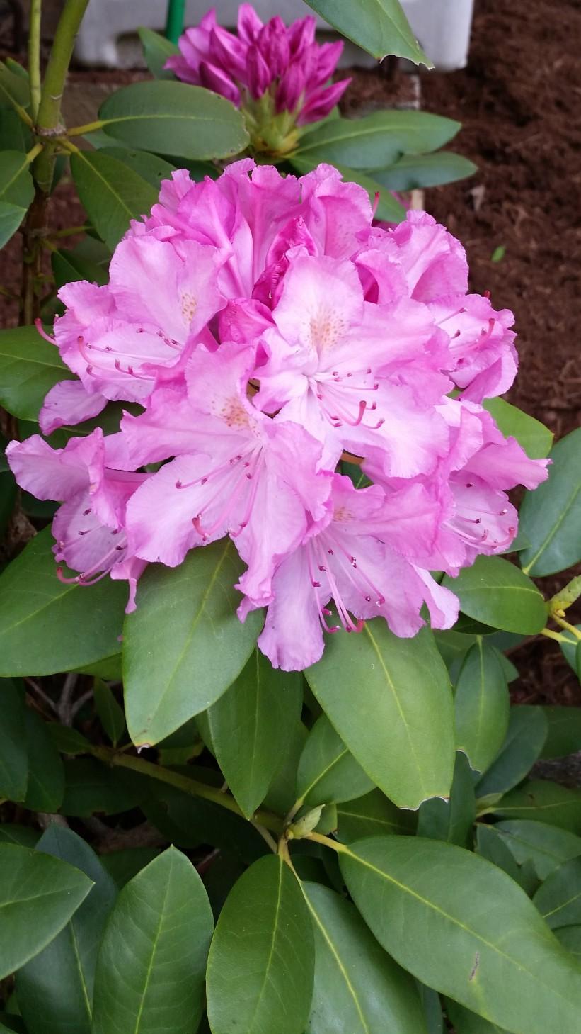 rhododendrun (2)