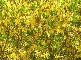 yellow.bell.2